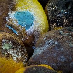Best Before... (Cirrusgazer) Tags: decay mouldy mould fungal rotting citrus fruit limes stilllife