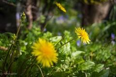 Dandelion (Yorkey&Rin) Tags: 2017 4月 april dandelion em5 flower japan kanagawa lumixg20f17 olympus rin spring u4025254 yokohama yokohamayamate タンポポ 横浜市 外人墓地 山手 春