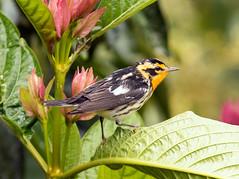 IMG_5745 Blackburnian Warbler (suebmtl) Tags: blackburnianwarbler migrant ecuador napoprovince baeza quindehuayca dendroicafusca