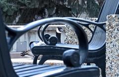 Urban Canada Goose 2 (benlarhome) Tags: calgary canada alberta downtown goose canadagoose