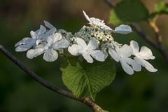 Viburnum Lantanoides Michx (wietsej) Tags: viburnum lantanoides michx arboretum hetleen eeklo belgium flower sony rx10iii rx10m3