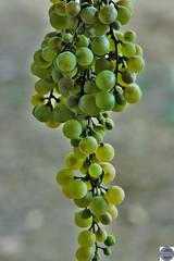 Racimo de uvas (Manuel Vázquez Franco-Hernandez Calleja) Tags: extremadura badajoz espaa