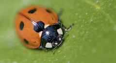 Coccinelle. (TAHARFR) Tags: macrodreams coccinelle green wild nikon105mm macro dreams insectes nature