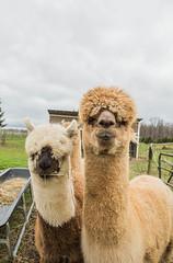 medina-7726 (FarFlungTravels) Tags: alpaca animal farm medinacounty onefineday shear wool