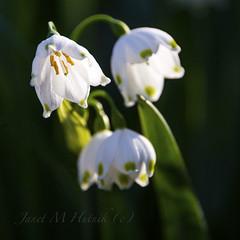 Spring Snowflake Flower (jmhutnik) Tags: wildflower coonskinpark charleston westvirginia springsnowflakeflower white spring april