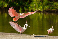 A flash of pink {Explored} (ChicagoBob46) Tags: roseatespoonbill spoonbill bird jndingdarlingnwr florida sanibel sanibelisland nature wildlife explore explored