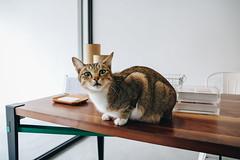 貓 (CLin4086) Tags: canon clin4086 cat camera sigma taiwan travel 台灣 宜蘭 貓 animal indoor