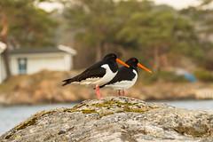 Tjeld på Groos (hartvig.johnsen) Tags: bird norway grimstad groos seabird spring olympus tjeld