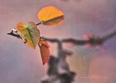 Sun Catchers (f4fwildcat...Tom Andrews Photography) Tags: spring redbudtree morning light drybrush stylize photoshop tenderleaves silkweb f4fwildcat tomandrewsphotography canoneos7d tamron