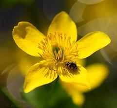 Marsh marigold and ladybird (jenniemay2011) Tags: nikond5300 beefriendly flower marshmarigold marginalplant ladybird yellow spring jenniemay