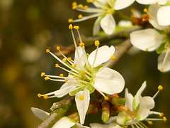 P1160889 (Jörg Paul Kaspari) Tags: schlehe schwarzdorn blüte flower prunus spinosa prunusspinosa