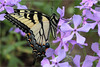 Life After Death (ioensis) Tags: life death symbolism resurrection good friday garden jdl ioensis 66440001b©johnlangholz2017 swallowtail metamorphosis transformation papilionidae webster groves april 2017 mo missouri nature saint louis st wild phlox woodland sweet william native macro insect butterfly