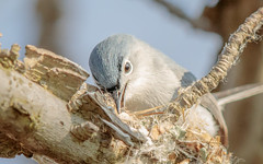 Blue-grey Gnatcatcher (wn_j) Tags: birds birding nature naturephotography animals wildlife wildanimals wildlifephotography songbirds hawk heinzwildlife heinz heinznwr canon canon5d4