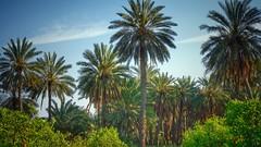 Jordan (ibndzerir) Tags: palmtrees palm landscape عمان الأردن إربد amman irbid jordan