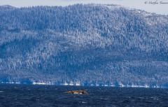 Seal Isle (matttimmons1) Tags: seals alaska water pentax mountain trees winter snow tongass ketchikan ferry blue