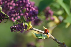 Happy ladybug (dfromonteil) Tags: macro bokeh bug insect insecte red rouge green vert colors couleurs nature plant plante fleurs flowers lilac lilas spring ladybug coccinelle