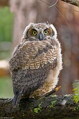 great horned owl fledgling(bubo virginianus)vancouver island (lee barlow) Tags: d7200 birdofprey birdsofbritishcolumbia birdsofcanada birdsofnorthamerica britishcolumbia bubovirginianus canada greathornedowl leebarlow nikon vancouverisland victoriabc