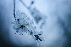 Arbuste (Manonlemagnion) Tags: nature sauvage arbuste fleur blanche macro douceur nikond7000 105mm28
