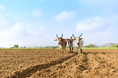 Leading lines of our future (Logesh Photostream) Tags: senneri cwc photowalk ploughing traditionalway nikon d750 earlymorning farming hardlife