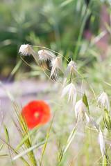 Dream (Zazarel) Tags: pentax k3 laowa60mm flore nature douceur blanc rouge fleur plante