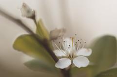 Woodland Charm (shawn›raisin d+p) Tags: 100mm canon6d denmarkfarm macro nature plant shawnwhite beauty blossom bokeh calm charm dream dreamy enchanting floral flower gentle restful serene serenity spring tranquil tree woodland llangybi wales unitedkingdom gb