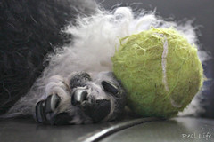 The prize 15/52 (SpooAddicts & the SpooCrew) Tags: 52weeksfordogs kiera standardpoodle paw tennis ball