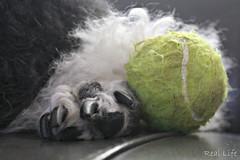The prize 15/52 (SpooAddicts & the SpooCrew) Tags: 52weeksfordogs kiera standardpoodle paw tennis ball