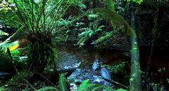 Into the FOREST....... (Lani Elliott) Tags: nature naturephotography forest bush treeferns plants foliage green water creek reflection reflections ferns naturetrail australia tasmania strahan