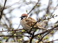 Tree Sparrow (Steve C Waddingham) Tags: stevenwaddinghamphotography bird wild song nature animal wildlife coast canon