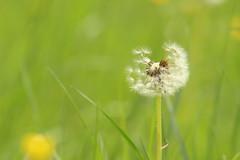 Le vent l'emportera... (Clément Lambert) Tags: macro macrodreams pissenlit vent bokeh fleur graines gris vert nature plante