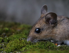 Long-tailed Fieldmouse (Mukumbura) Tags: longtailedfieldmouse woodmouse apodemussylvaticus mouse mice animal rodent garden nature england seed birdseed eating food foraging hedge ground earth sunflower moss portrait gettyimages
