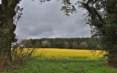 Perfectly framed oil seed rape / canola fields {Explored 14th April 2017} (Deirdre Snook) Tags: oilseedrapecanolafieldsyellow pollen shropshire