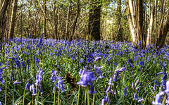 Bluebells in the West Wood, Winchester, 2017 (neilalderney123) Tags: ©2017neilhoward landscape olympus bluebells wood forest hampshire winchester spring england