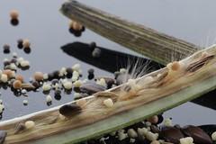 Seeds  [Explored 18-4-2017] (eMMa_bOOm) Tags: spices seeds macromondays theme themeseeds themebased mm pod flower food herbs nature natural coloured hues colours dof depthoffield sooc macro