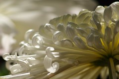 Glow (KaDeWeGirl) Tags: show newyorkcity white flower garden botanical petals bronx curls chrysanthemum nybg kiku