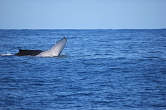 Waving (Gillian Everett) Tags: australia pacificocean queensland whales humpback migration mooloolaba sooc whaleone
