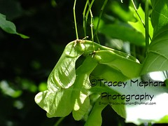 Sycamore seeds (traceymepham) Tags: autumn tree green fall leaves dark photography leaf wings 5 five seed andover seeds falling helicopter sycamore finepix fujifilm tracey winged seedlings seedling lobed mepham hs30exr