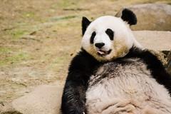 Panda.. (Nupur Dasgupta) Tags: wild india white animal zoo big panda tiger royal jungle malaysia huge kuala bengal tigress lumpur negara