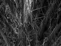 12102014-DSC00235 (sbstnhl - Siti) Tags: bw naturaleza blanco sony negro palmeras bn dsch2