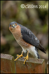 Sparrowhawk Male (David E Cassells) Tags:
