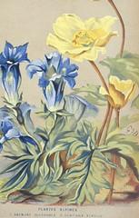 Alpine plants. Anemone sulphurea and Gentiana acaulis. Bulletin de la Societe d'horticulture de Geneve anne. v.36 (1868)