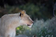 Kalahari Lion (Dmytro Cherkasov) Tags: africa park nature animal cat big wildlife lion deception national valley botswana wilderness kalahari 500px ifttt