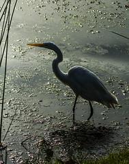 Silhouetted Great White Egret (Bill Gracey 23 Million Views) Tags: california white bird nature silhouette wings egret greategret sandiegocounty greatwhiteegret santeelakes ardeaalbaegretta naturephotograhy