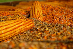 Kukuruz (Maize)