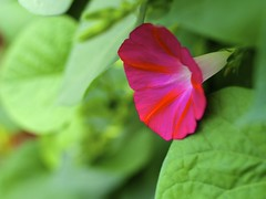 Morning Glory (Sneezzzzz) Tags: flower nature closeup outdoor morningglory fujifilmx
