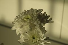 - (najla sohaibani) Tags: sun white flower green canon riyadh    gutenabend  goodafternoon buonasera     akamlar