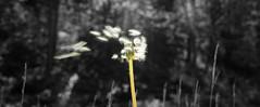 Blow (Ludvius) Tags: white black color nature blow vegetation ludovicophotography wwwludovicophotocom