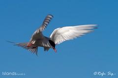 Kría - The Arctic Tern (Sterna paradisaea)