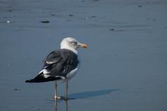Qu tranquila estaba (donseveriano) Tags: bird beach birds huelva playa aves andalucia panasonic ave pajaros pajaro puntadelmoral fz28 gaviotaaves