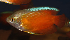 Flame dwarf gourami (Trichogaster lalius) (shadowshador) Tags: life fish water dwarf wildlife flame ichthyology biology animalia gourami scientific taxonomy classification chordata bilateria deuterostomia